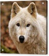 Wolf Watching Acrylic Print