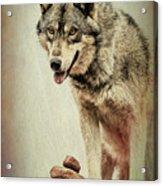 Wolf Wonder Acrylic Print