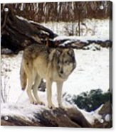 Wolfe In Winter Snow Acrylic Print