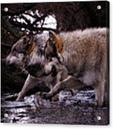 Wolves Synchronized Dancing Acrylic Print