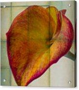 Wonderful Calla Lily Acrylic Print