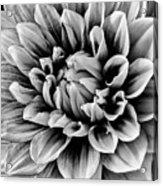 Wonderful Graphic Dahlia Acrylic Print