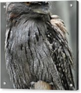 Wonderful Patterned Feathers On A Tawny Frogmouth Bird Acrylic Print