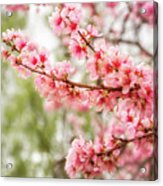 Wonderful Pink Cherry Blossoms At Floriade Acrylic Print