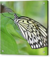Wonderful Up Close Look At A Large Tree Nymph Butterfly Acrylic Print