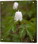 Wood Anemone Heavy From The Rain Acrylic Print