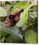 Wood Butterfly Acrylic Print