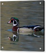 Wood Duck - Male Acrylic Print