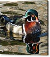 Wood Duck 1 Acrylic Print