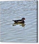 Wood Duck 2 Acrylic Print