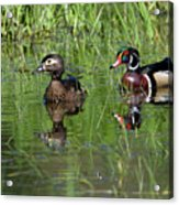 Wood Duck Couple Acrylic Print