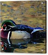 Wood Duck Drake Acrylic Print