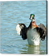 Wood Duck Flight Acrylic Print