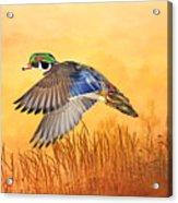 Wood Duck In Flight Acrylic Print