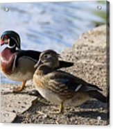 Wood Duck Pair By The Lake Acrylic Print
