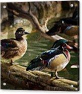 Wood Ducks Posing On A Log Acrylic Print