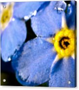Wood Forget Me Not Blue Two Acrylic Print by Ryan Kelly