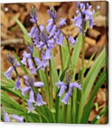 Wood Hyacinth Blue Acrylic Print