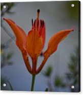 Wood Lily With Lake Superior In Background Acrylic Print