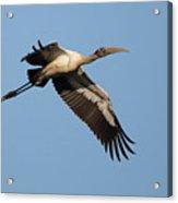 Wood Stork 1 Acrylic Print