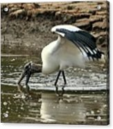 Wood Stork Fishing Acrylic Print