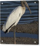 Wood Stork In The Final Light Of Day Acrylic Print