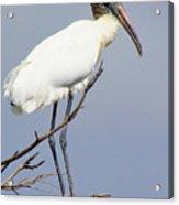 Wood Stork Acrylic Print