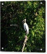 Wood Stork-out On A Limb Acrylic Print