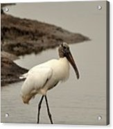 Wood Stork Walking Acrylic Print
