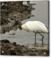 Wood Stork With Fish Acrylic Print
