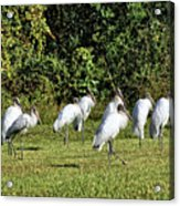 Wood Storks 2 - There Is Always One In A Crowd Acrylic Print
