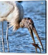 Wood Storks Breakfast Lunch And Dinner Acrylic Print