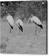 Wood Storks By The Water's Edge Acrylic Print