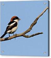 Woodchat Shrike  Acrylic Print