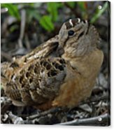 Woodcock At Rest Acrylic Print