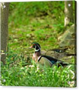 Woodies Feeding Acrylic Print