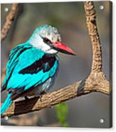 Woodland Kingfisher Halcyon Acrylic Print