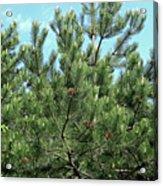 Woodland Pines Acrylic Print