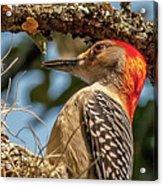 Woodpecker Closeup Acrylic Print