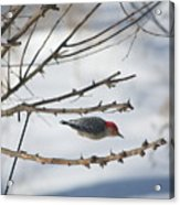 Woodpecker Diver Acrylic Print