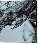 Woodpecker - El Salvador Acrylic Print