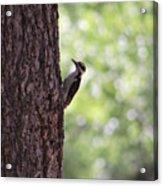 Woodpecker In New Mexico Acrylic Print