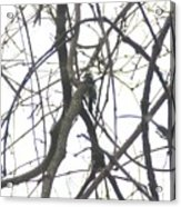 Woodpecker In The Forest Acrylic Print