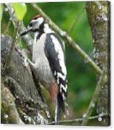Woodpecker Acrylic Print