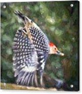 Woodpecker Wings Acrylic Print