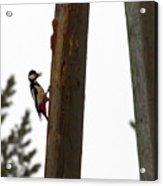 Woodpecker Workshop  Acrylic Print