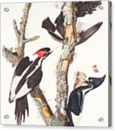 Woodpeckers Acrylic Print by John James Audubon