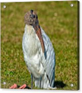 Woodstork On The Lookout Acrylic Print