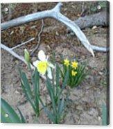 Woodsy Narcissus Acrylic Print
