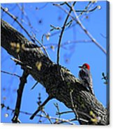 Woody Woodpecker Acrylic Print